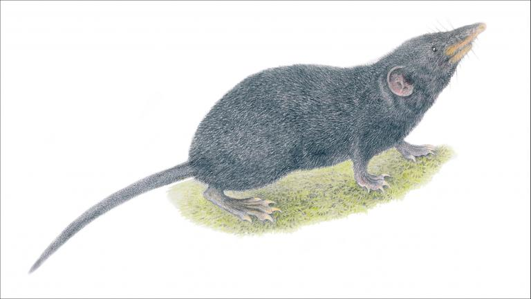 An illustration of the newly identified Palawan moss shrew. (Velizar Simeonovski / The Field Museum)
