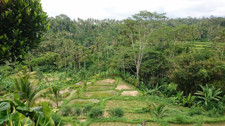 An image of rice fields in Ubud, Bali, submitted as part of the study by an archaeologist from the Max Planck Institute for the Science of Human History. (Lucas Stephens / University of Pennsylvania)