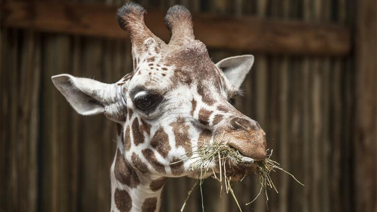 (Chris Bijalba / Lincoln Park Zoo)