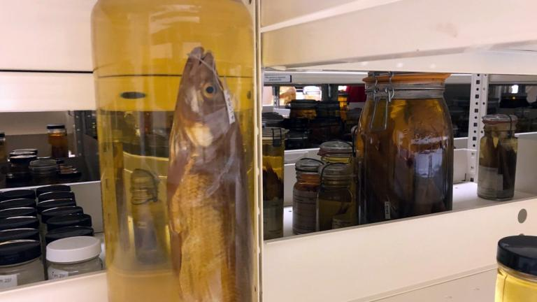 The Field Museum has more than 2 million fish in its research collections. (Patty Wetli / WTTW News)