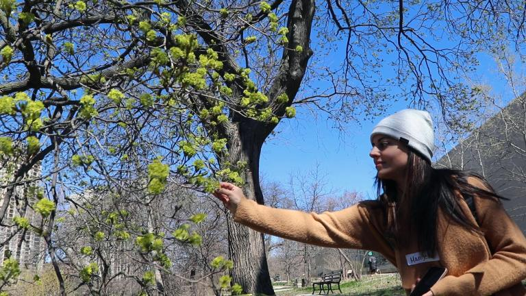 Manijeh Bonshahi forages flowers from a maple tree in Lincoln Park. (Evan Garcia / WTTW News)