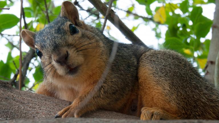 A fox squirrel (Toadberry / Wikimedia Commons)