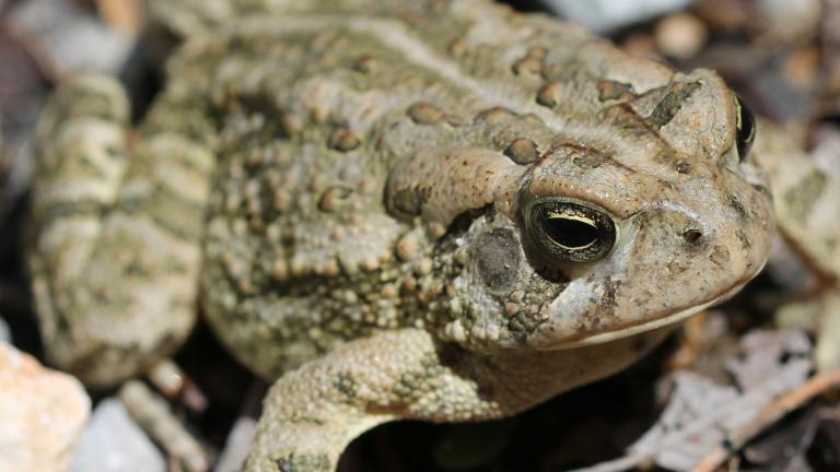 A Fowler's toad (Courtesy Peggy Notebaert Nature Museum)