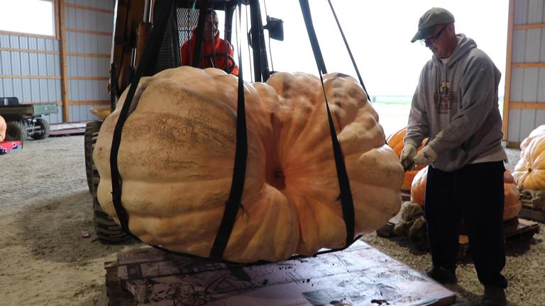 Joe Adkins of Wheaton, Illinois prepares to weigh a giant pumpkin he grew. At 1,258 pounds, the gourd took first place in a contest on Saturday, Sept. 28, 2019. (Evan Garcia / WTTW News)
