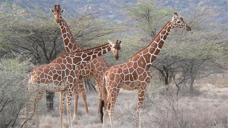Reticulated giraffe herd in the Samburu National Reserve in Kenya. (Snakes3yes / Flickr)