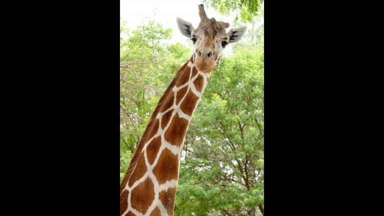 (Courtesy Brookfield Zoo)