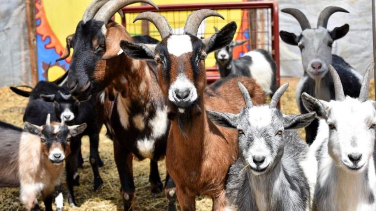 Urban Growers Collective maintains a herd of 17 goats at its South Chicago farm. (Courtesy of Urban Growers Collective)