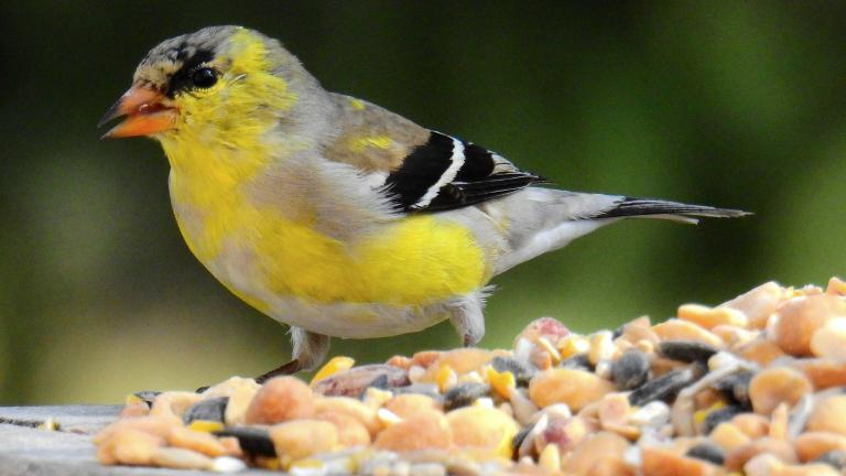 Look for an American goldfinch during Saturday's Big Day birding event. (Ken Gibson / Flickr)