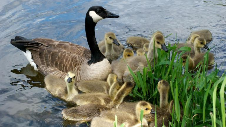 Geese are more relaxed this spring with fewer humans around, researchers say. (Jocelyn Piirainen / Flickr)