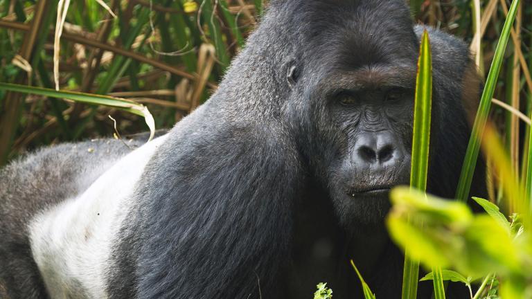 A gorilla at Kahuzi-Biega National Park in the Democratic Republic of Congo (Joe McKenna / Wikimedia Commons)