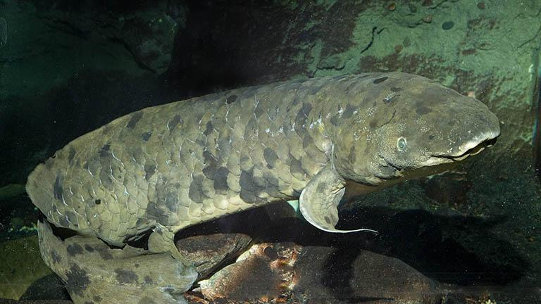 Granddad is an Australian lungfish believed to be a century old that arrived at the Shedd Aquarium 83 years ago. (Shedd Aquarium)