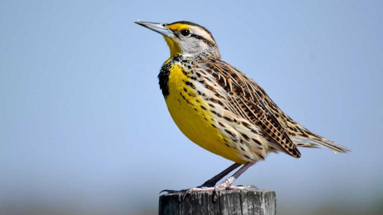 An Eastern meadowlark (Seri Douse / Great Backyard Bird Count)