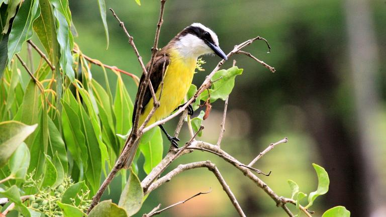 Great Kiskadee (Liam Lysaght / Pixabay)