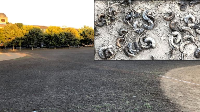 An infestation of beetle grubs has decimated a huge swath of Welles Park in Lincoln Square. (Patty Wetli / WTTW News)