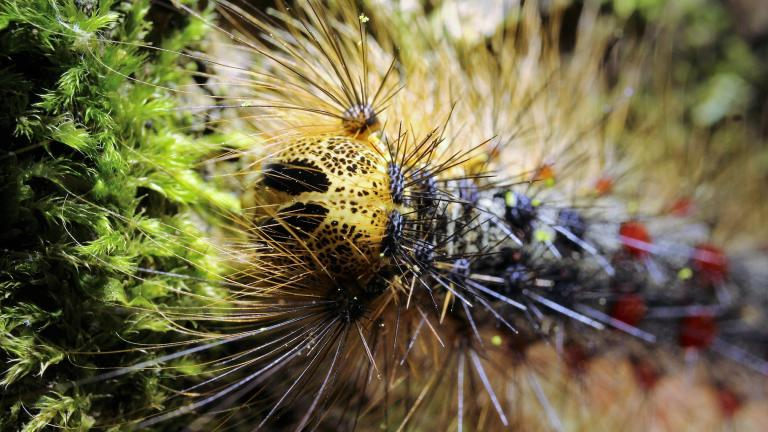 A lymantria dispar caterpillar, awaiting its new common name. (Feliciano Moya Lopez / Pixabay)