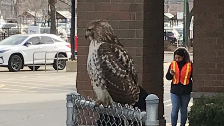 A Red-tailed hawk, perched outside a Jewel-Osco, 3400 N. Western Ave., on Nov. 21, 2020. (WTTW News)