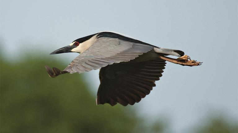 Black-crowned night herons average about 2 feet in length and weigh nearly 2 pounds. (Courtesy Lincoln Park Zoo)