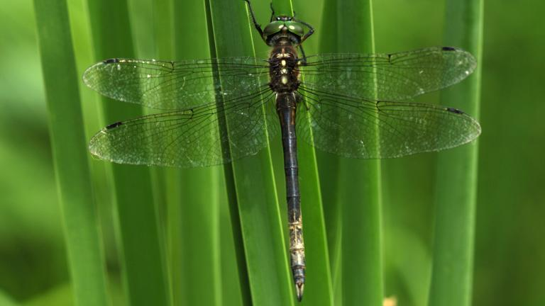Hine's Emerald Dragonfly. Photo by Carol Freeman