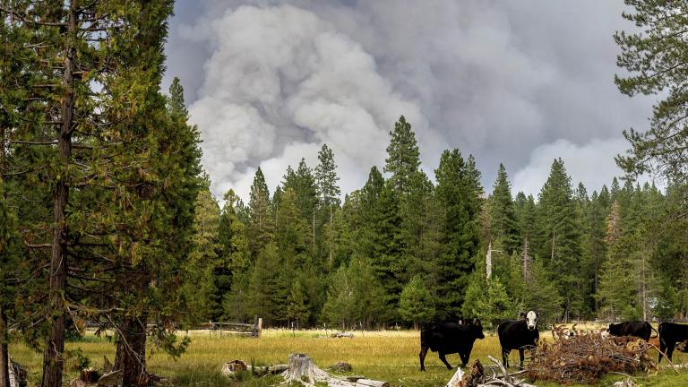 FILE - In this Monday, July 26, 2021, file photo, cows graze as smoke rises from the Dixie Fire burning in Lassen National Forest, near Jonesville, Calif. (AP Photo / Noah Berger, File)