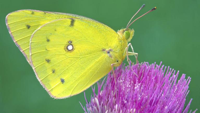 This undated photo provided by Michael Thomas in April 2020 shows a clouded sulphur butterfly in Cromwell, Conn. (Mike Thomas via AP)