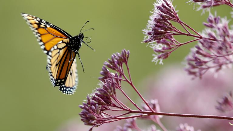 In this Aug. 28, 2019 file photo, a Monarch butterfly flies to Joe Pye weed, in Freeport, Maine. (AP Photo / Robert F. Bukaty)