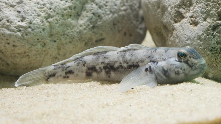 The round goby. (Credit: Shedd Aquarium)