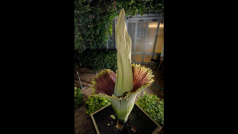 Java, a corpse flower at the Chicago Botanic Garden, bloomed May 23, 2019. (Courtesy Chicago Botanic Garden)