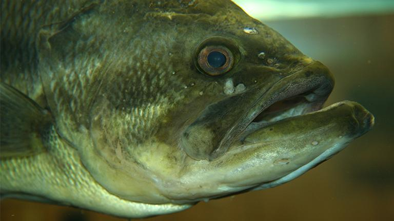 Scientists have found female eggs growing in the testicular tissue of some male largemouth bass taken from the Des Plaines River. (Jonathunder / Wikimedia Commons)