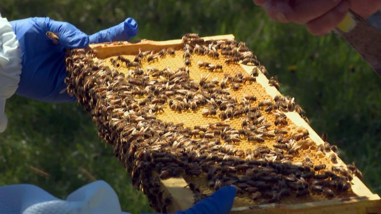 Karen and Jim Belli say the secret ot their honey is the diversity of the local trees and plants in northeastern Illinois, making it in their view one of the best places to raise honeybees in the entire country. (WTTW News)