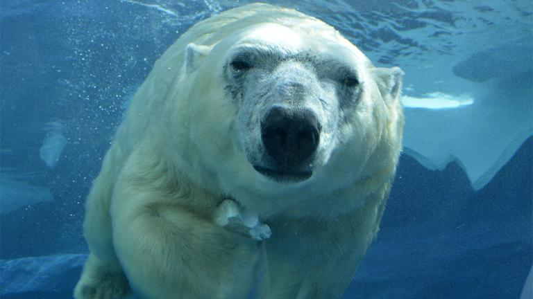Lincoln Park Zoo recently welcomed Talini, a 14-year-old female polar bear who lived previously at the Detroit Zoo. (Roy Lewis / Detroit Zoo)