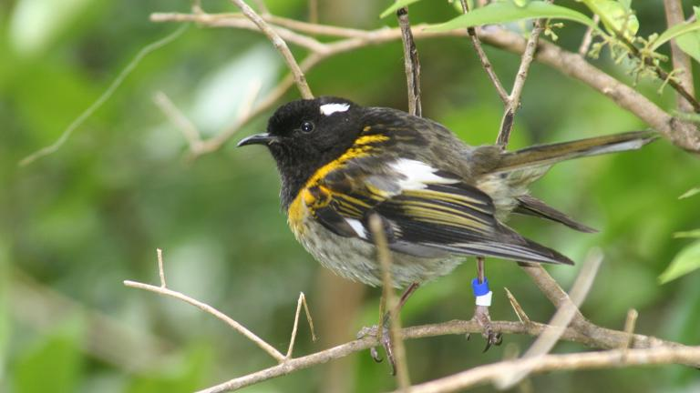 A male hihi bird on Tiritiri Matangi Island, New Zealand (Duncan Wright / Wikipedia)