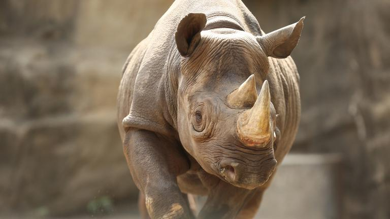 Kapuki, a 13-year-old female eastern black rhinoceros at Lincoln Park Zoo (Courtesy Lincoln Park Zoo)