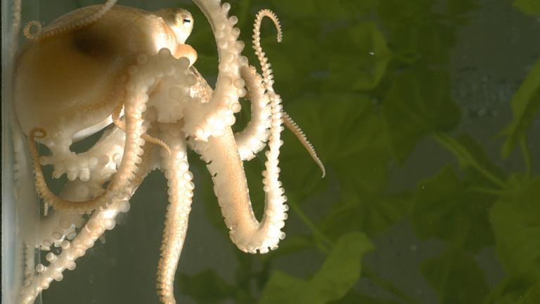 A juvenile California two-spot octopus (Octopus bimaculoides) holds onto the walls of her aquarium with her flexible, sucker-lined arms. (Photo Credit: Michael LaBarbera)