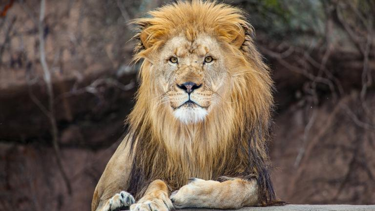 Sahar, Lincoln Park Zoo's 9-year-old male lion, died Sept. 27 while living temporarily at a zoo in Kansas. (Courtesy Lincoln Park Zoo)