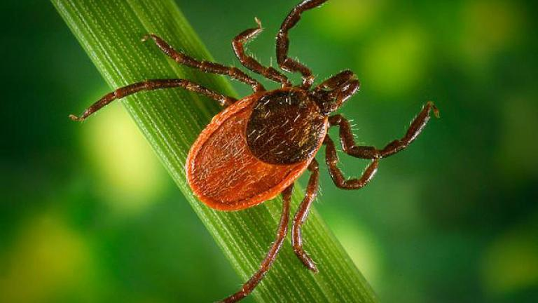 The black-legged or deer tick is the only tick that transmits the bacterium that causes Lyme disease