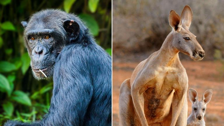 Chimpanzees and red kangaroos are among the competitors in March Mammal Madness 2021. (Simon Bardet / Pixabay; Pierre_Rigou / Pixabay)