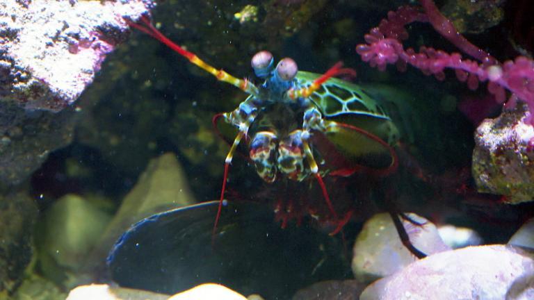 A mantis shrimp grabs a mollusk shell at the Shedd Aquarium on Sept. 20, 2021. (WTTW News)