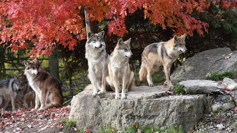 A group of Mexican wolves at Brookfield Zoo (Jim Schulz / Chicago Zoological Society)
