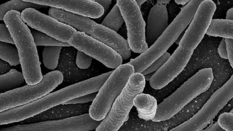 Pictured are E. coli bacteria, one of the many species of bacteria present in the human gut.