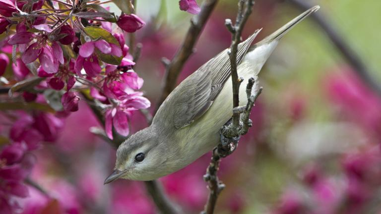 A warbling vireo photographed at Montrose Point Bird Sanctuary by Rob Curtis.