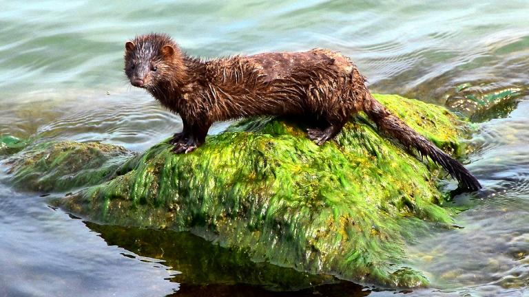 The American mink is equally at home on land or in the water. And despite its size, is not to be trifled with. (Jan Den Ouden / Pixabay)
