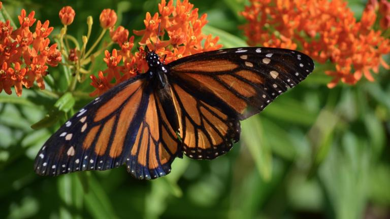 A monarch butterfly on butterfly milkweed. (U.S. Fish and Wildlife Service Midwest Region / Flickr)
