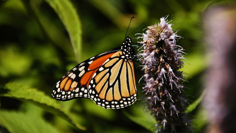 A healthy monarch butterfly spotted in downtown Chicago in 2007. (Greg Robbins / Flickr)