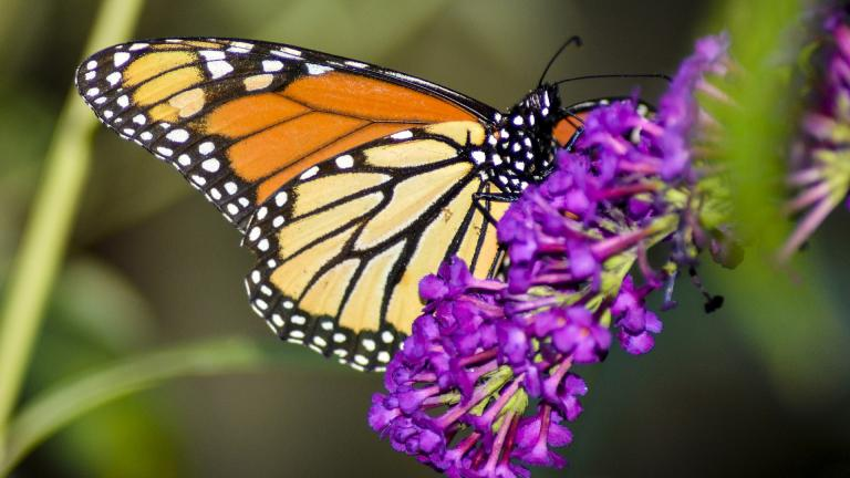 Monarch butterflies migrate en masse, but they aren't social creatures, scientists say. (Mageephoto / Pixabay)