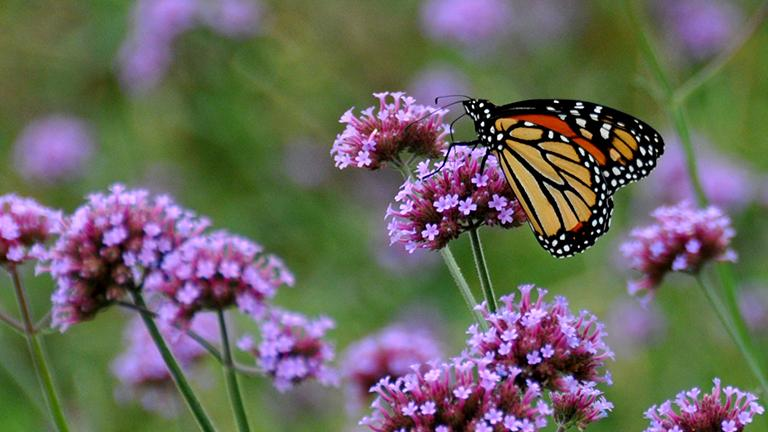 The population of the monarch butterfly -- seen here in Chicago's Grant Park -- has declined by more than 80 percent over the past two decades. A 2016 study claims the decline of milkweed plants in the Midwest is a contributing factor. (Oriol Gascón i Cabestany / Flickr)