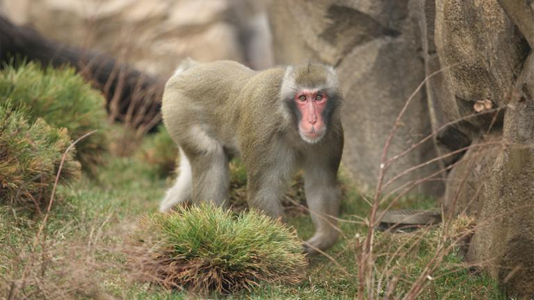 A paternity test revealed that Miyagi, one of three male Japanese macaques at Lincoln Park Zoo, is the sire of all four Japanese macaques born at the zoo since 2014. (Todd Rosenberg / Lincoln Park Zoo)