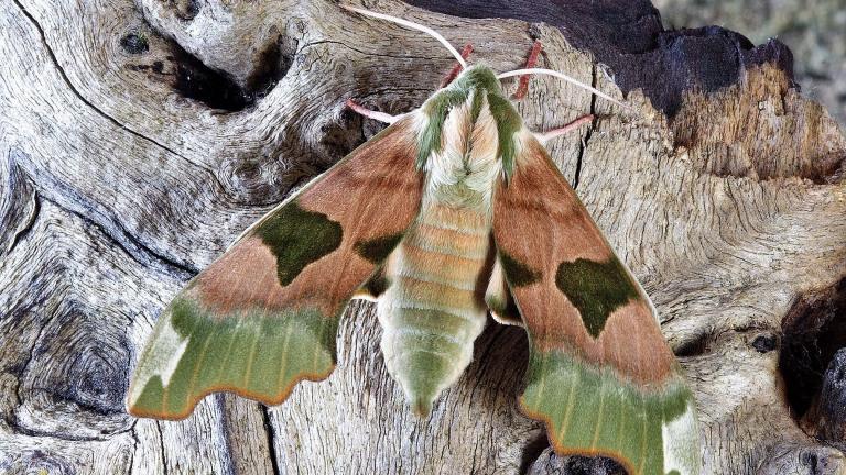 A hawk moth. (Ian Lindsay / Pixabay)