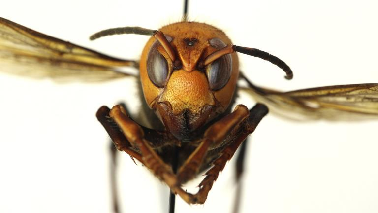 In this Dec. 30, 2019, photo provided by the Washington State Department of Agriculture, a dead Asian giant hornet is photographed in a lab in Olympia, Wash. (Quinlyn Baine / Washington State Department of Agriculture via AP)