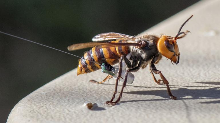 In photo provided by the Washington State Dept. of Agriculture, an Asian Giant Hornet wearing a tracking device is shown Thursday, Oct. 22, 2020 near Blaine, Wash. (Karla Salp / Washington Dept. of Agriculture via AP)