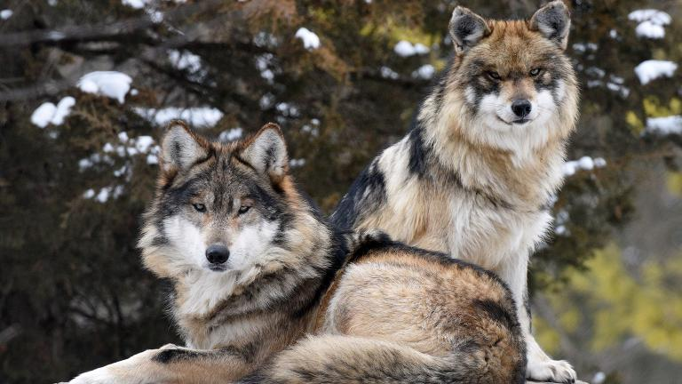 Apache, foreground, a 7-year-old old male Mexican wolf recently arrived at Brookfield Zoo to be paired with 2-year-old Ela. (Jim Schulz / Chicago Zoological Society)